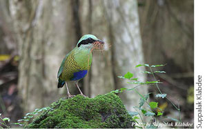 Bar-bellied Pitta