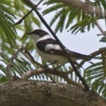 Collared Flycatcher