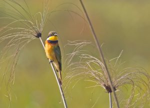 bee-eater-blue-breasted_7479