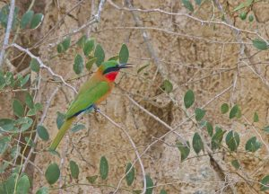 bee-eater-red-throated_1516