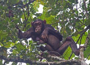 chimpanzee_0648