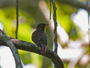 cuckoo-yellow-throated_6020