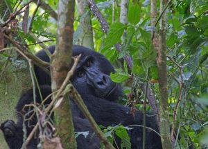 gorilla_8517